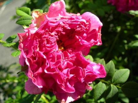 イザヨイバラ花