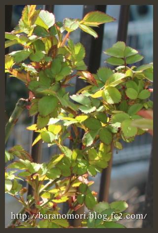 実験 無農薬栽培 バラの葉エキス 2013