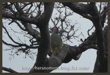野鳥 アオゲラ