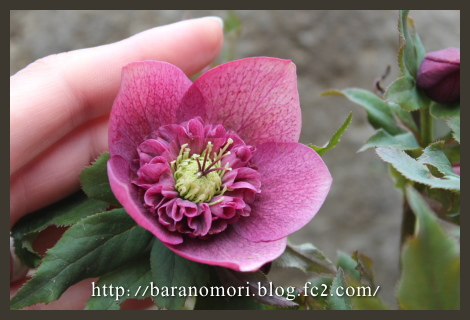庭の花 20130325 クリスマスローズ