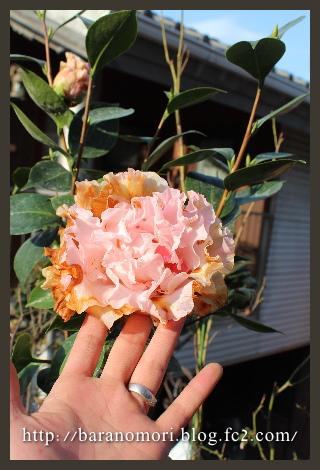 椿 庭の花