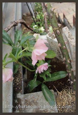 庭の花 20130325