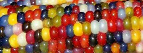 real_corn_on_the_cob_that_comes_in_colors_640_01.jpg