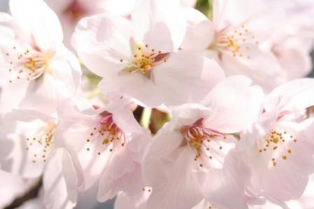 桜_800