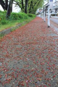 桜の残骸_800