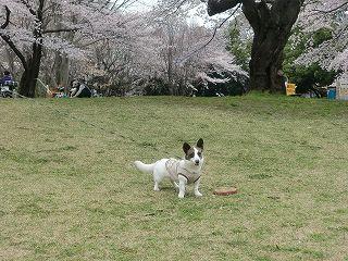 これが、桜の花でしか~?byたまこ