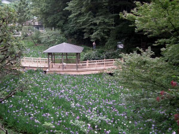 川崎 生田緑地の菖蒲池に咲く菖蒲の花(1)