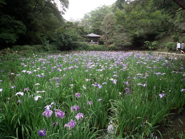 川崎 生田緑地の菖蒲池に咲く菖蒲の花(4)