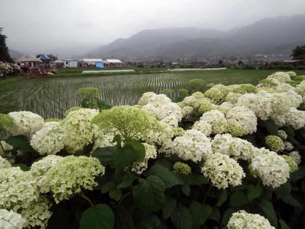 開成あじさい祭りで撮影した紫陽花(2)