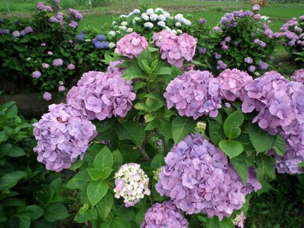 開成あじさい祭りで撮影した紫陽花(3)