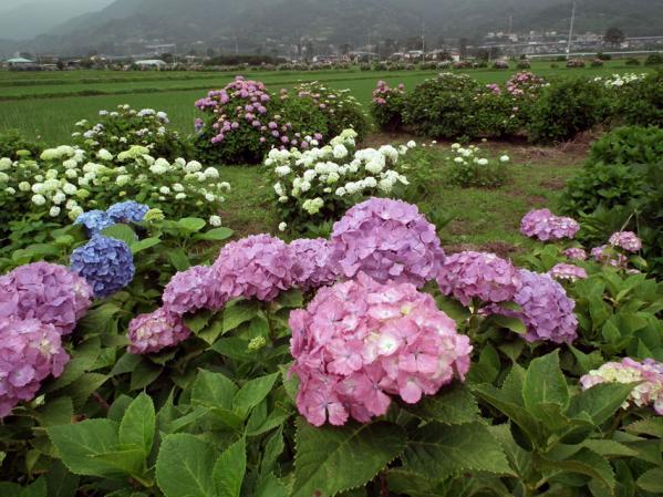 開成あじさい祭りで撮影した紫陽花(5)