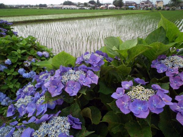開成あじさい祭りで撮影した紫陽花(6)