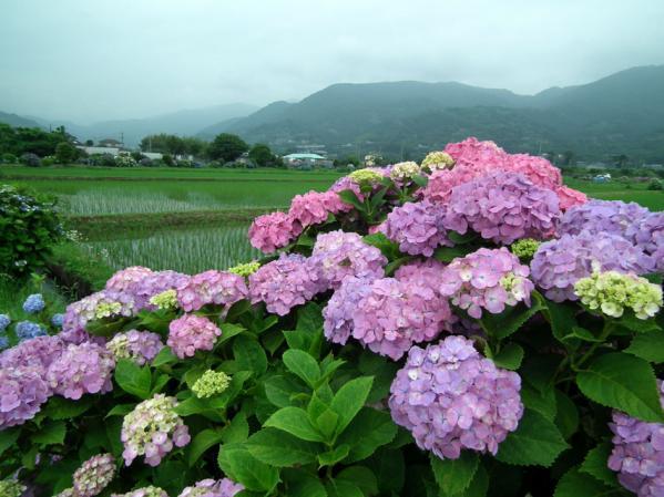 開成あじさい祭りで撮影した紫陽花(7)