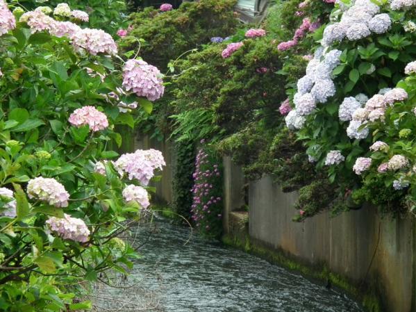 開成あじさい祭りで撮影した紫陽花(8)