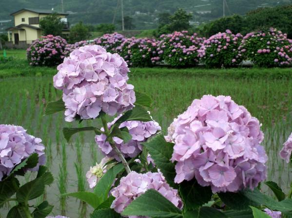 開成あじさい祭りで撮影した紫陽花(9)
