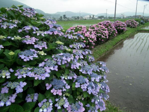 開成あじさい祭りで撮影した紫陽花(10)