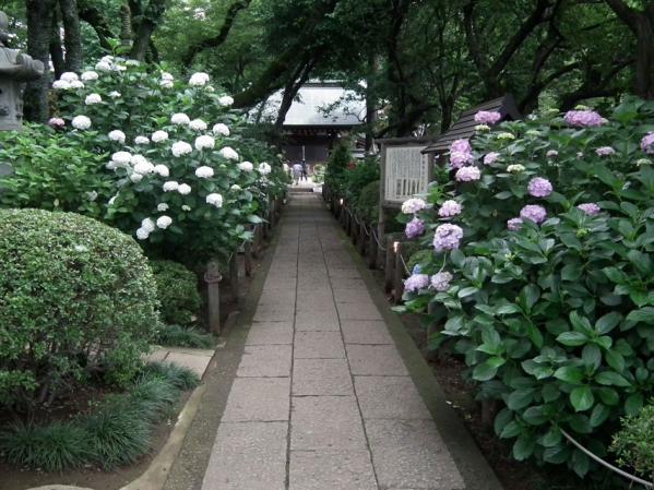 川崎 妙楽寺に咲く紫陽花(1)