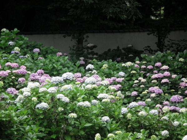 川崎 妙楽寺に咲く紫陽花(2)