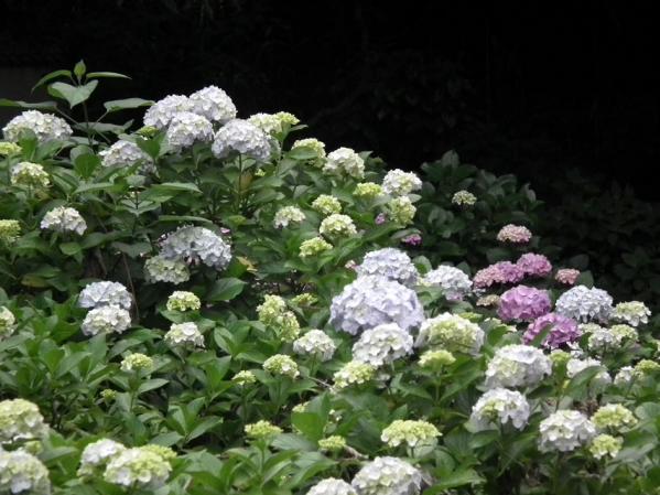 川崎 妙楽寺に咲く紫陽花(3)