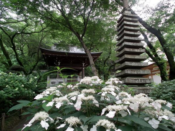 川崎 妙楽寺に咲く紫陽花(4)
