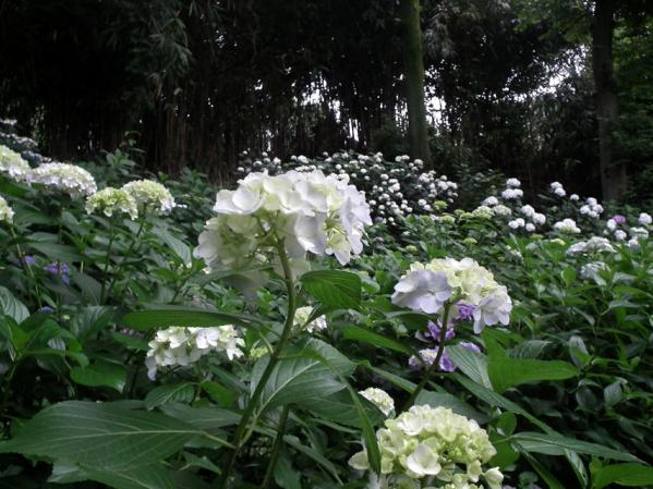 川崎 妙楽寺に咲く紫陽花(5)