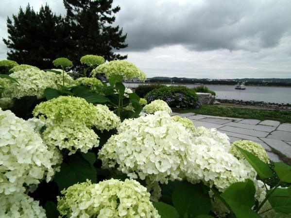八景島の紫陽花(1)