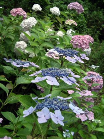 八景島の紫陽花(2)