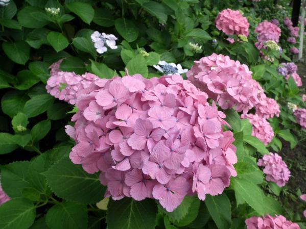 八景島の紫陽花(3)