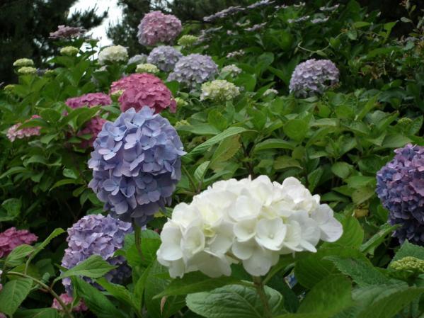 八景島の紫陽花(4)