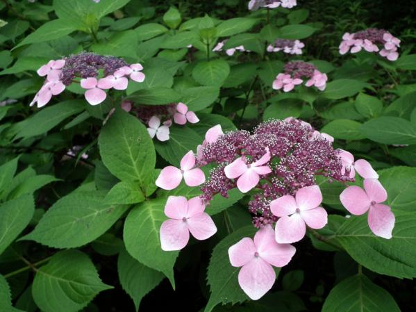 八景島の紫陽花(6)
