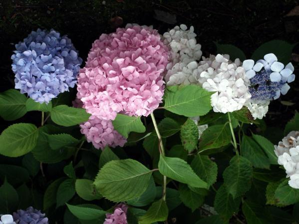 八景島の紫陽花(7)