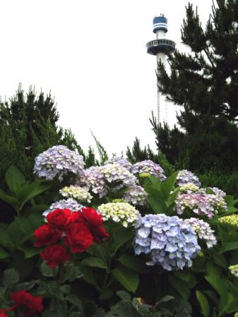八景島の紫陽花(8)