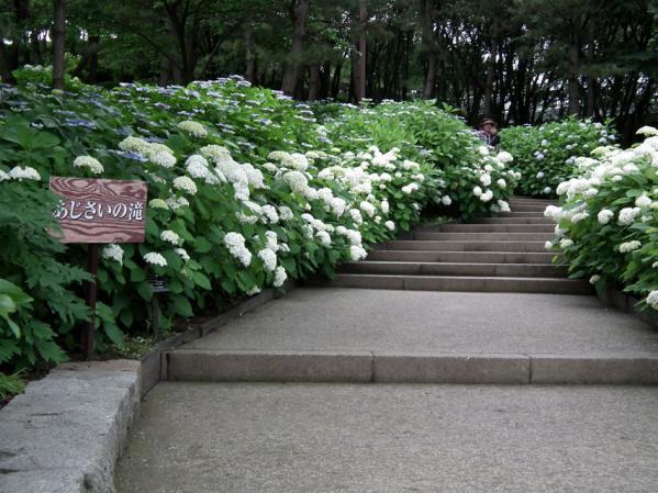 八景島の紫陽花(10)