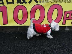 1000円の白犬