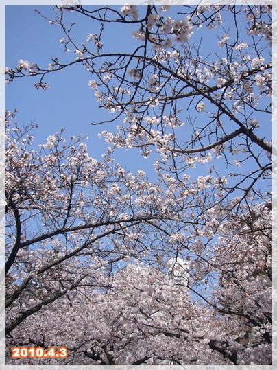 100403_okawa_sakura_00.jpg