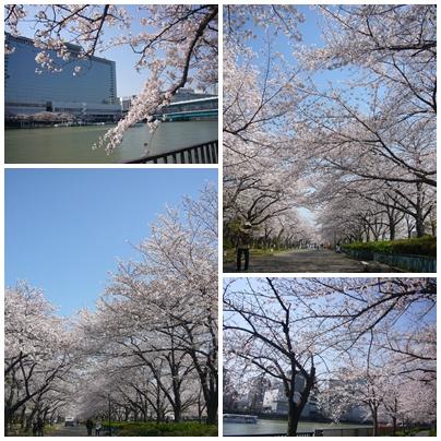 100403_okawa_sakura_02.jpg