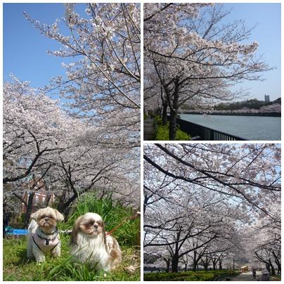 100403_okawa_sakura_03.jpg