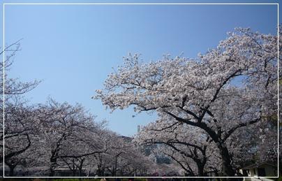100403_okawa_sakura_04.jpg