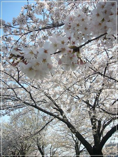 100403_okawa_sakura_05.jpg