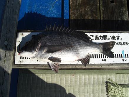 黒鯛15-8