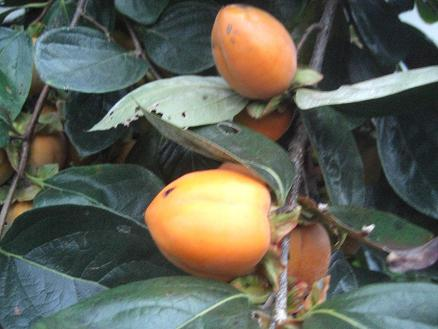 2010柿1-2