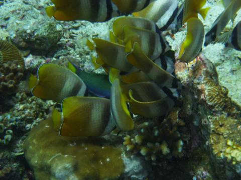 P1000902外の魚の卵を食べに群がる魚たち