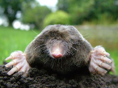 800px-Close-up_of_mole.jpg