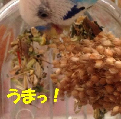 白キビ穂食べてる!