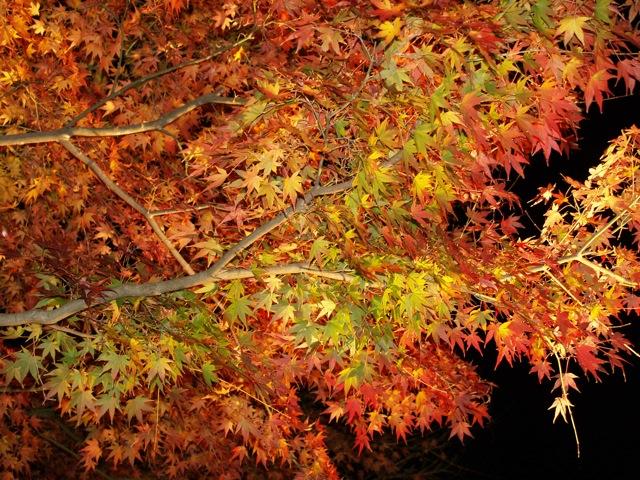 長谷紅葉ライトアップ20094
