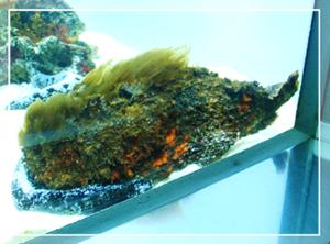 葛西-石のような魚