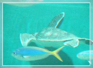 葛西-ウミガメ