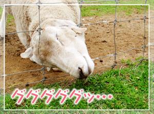 マザ牧-ヒツジ06