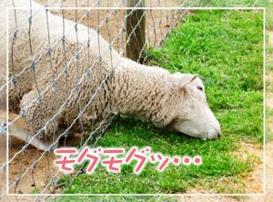マザ牧-ヒツジ05