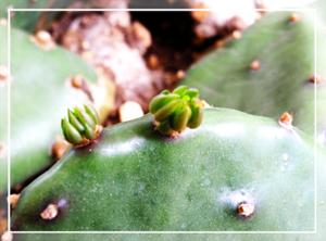 サボテンの芽20100506